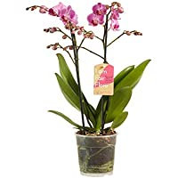 Amazon Fr Orchidees Plantes D Interieur Jardin