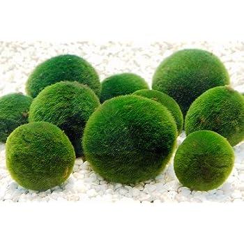 Luffy marimo moss ball x 5 1 12mm free live aquarium for Betta fish moss ball