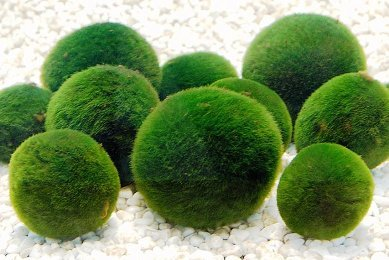 luffy-marimomossball-x-5-1-free-12mm-diameter-live-rare-easy-decor-pet-plant-ship-from-uk-for-grow-a
