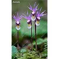 VISTARIC 12 20 Pz Bonsai Fiori Amaranthus Tricolour Semi Poinsettia Amaranto Tasso Di