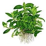 Tropica Staurogyne repens Live Aquarium Plant - In Vitro Tissue Culture 1-2-Grow! by Tropica 3