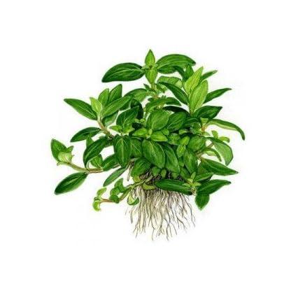 Tropica Staurogyne repens Live Aquarium Plant - In Vitro Tissue Culture 1-2-Grow! by Tropica 1