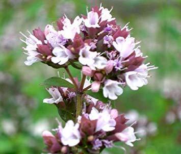 100 Seeds - Schöne Oregano italienischen Bio-Origanum vulgare