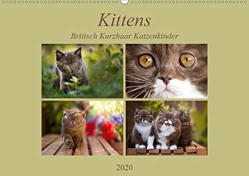 Kittens - Britisch Kurzhaar Katzenkinder (Wandkalender 2020 DIN A2 quer): Mit kleinen Stubentigern durch das Jahr (Monatskalender, 14 Seiten ) (CALVENDO Tiere) (Britischen Tv)