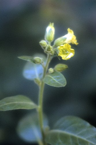 Asklepios-seeds® - 100 Samen Nicotiana rustica, Bauern-Tabak