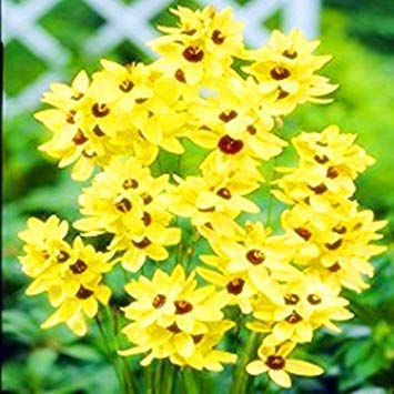 seedsown 100 Stück Samen/Packung Turquoise Lxia Viridiflora Samen, Schöne LRIS Mix Columbine Aquilegia Shade Perennial Blumen-Garten-1 -