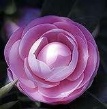 5 semi di camelia, piante in vaso, fai da te Casa e giardino ricco di fiori perenne bonsai Fiore