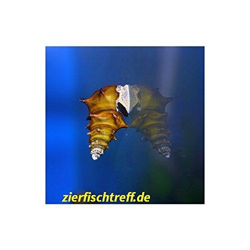 Brotia pagodula - Stachelige Turmdeckelschnecke, Pagodenschnecke 5 Stück