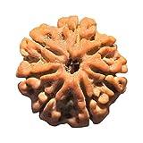 Aldomin® Natural Energized Seven Faced / 7 Mukhi Rudraksh Bead (Lab Certified)