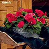 50 PC Bonsai Begonia Samen Mischung Farbe Hybrida Voss Laternen Blumen Begonia Malus Spectabilis chinesischen Bonsai-Garten-Dekoration 24