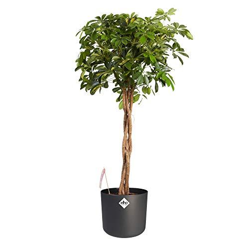 Zimmerpflanze von Botanicly - Fingerbaum mit anthrazitfarbenem zylindrischen Übertopf als Set - Höhe: 110 cm - Schefflera Gold Capella