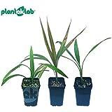 Portal Cool Las Semillas del Paquete: Washingtonia Filifera: exóticas vivas Palma Seedss para Cubierta