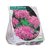 Allium Oreophilum 100 Stück Blumenzwiebel