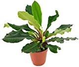 Fangblatt - Euphorbia leuconeura - die Spuckpalme ist das Madagaskar-Juwel und eine wundervolle Zimmerpflanze mit Unterhaltungsfaktor - pflegeleichte Zimmerpflanze