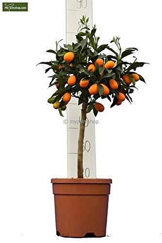Zitronen Kumquat - Fortunella margarita - verschiedene Größen (60-80cm - Stamm 30cm - Topf Ø 23cm)