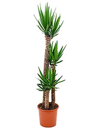 Yucca Palme 140-170 cm im 32 cm Topf große Zimmerpflanze für hellen Standort Yucca elephantipes 1 Pflanze