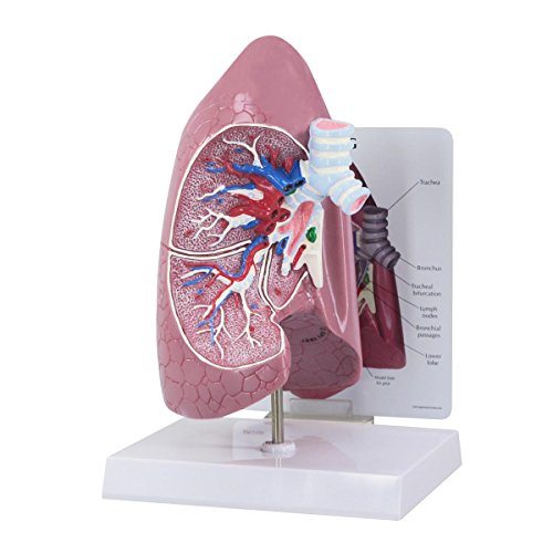 GPI Anatomicals 3100 Modello di Polmone
