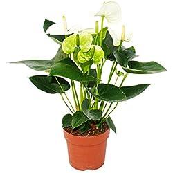 "Flamingoblume ""Sierra White"" weiss Anthurium andreanum 14cm"