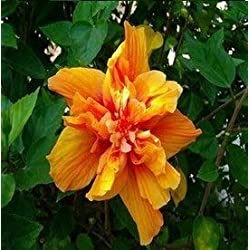 Fash Lady 200 stücke Hibiscus Bonsai 24 Farbe für Wählen HIBISCUS ROSA-SINENSIS Blume Pflanzen für zuhause & amp; Garten: 18