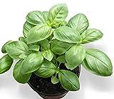 300 graines Aromatiques - BASILIC Grand Vert Genovese - Ocimum basilicum var. Genovese