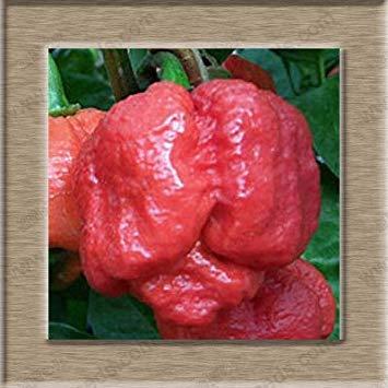 VISTARIC Gris clair: 150 Pcs Graines Coriandre Saisons persil Graines Coriandre Bio Graines Balcon légumes japonais petites graines Bonsai Salade Rare