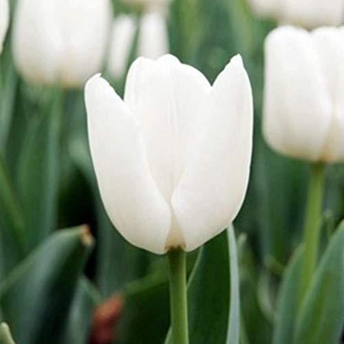 50 Pcs Topf Tulpenzwiebeln Samen,Garten Balkon Schöne Bonsai Pflanzen Tulpenzwiebeln Samen (Rosa weiß)