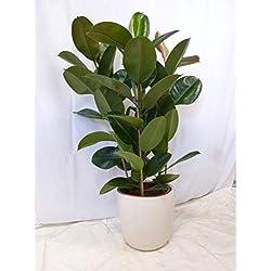 """[Palmenlager] - Gummibaum - Ficus elastica""""robusta"""" 130 cm - 3er Tuff // Zimmerpflanze"""