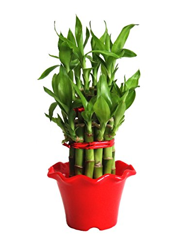 Rolling Nature 2 Layer Long Stalks Lucky Bamboo in Red Blossom Pot  available at amazon for Rs.279