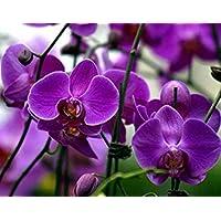 Visa Store NF564xT13: 2018 Nouveautés !!24 tipos de fondos de floración de orquídeas Phalaenopsis pour votre choix - (Couleur NF564xT13)
