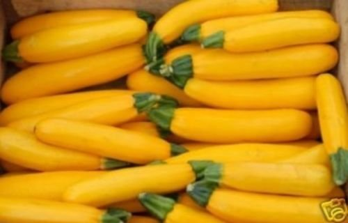 100+ Graines de courgette bio d'or ~ Courge jaune Bush ~ été ~ Abondant