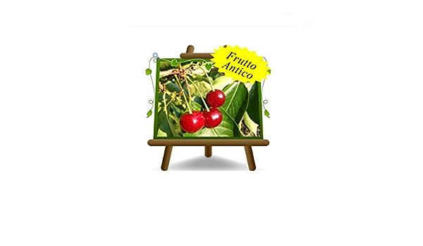 2 anni Ciliegio Acido Visciola di Ancona su vaso da 20 pianta da frutto antico autofertile max 170 cm