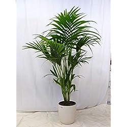 [Palmenlager] Howea forsteriana - Kentia Palme - 150/160 cm - 5 Stämme // Zimmerpflanze - Zimmerpalme
