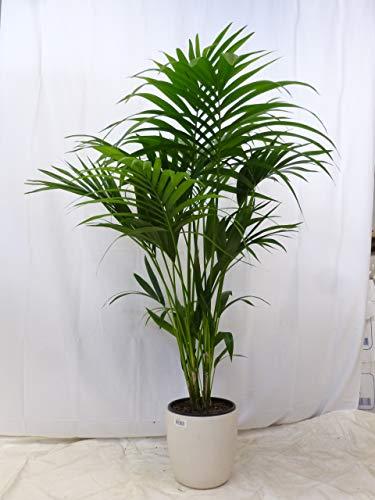 [Palmenlager] Howea forsteriana - Kentia Palme - 120 cm // Zimmerpflanze - Zimmerpalme