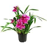 1 fioritura abilitato Orchidea il varietà: Miltonia Honolulu Della warner Migliori, 13cm Pentola