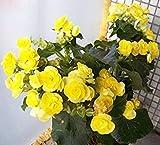 PLAT FIRM-SEEDS Heiße verkauf Yellow Begonia Samen 100% Echte Malus Spectabilis Samen Topf Begonia Bonsai-Pflanzen-Samen DIY Hausgarten 10 PCS