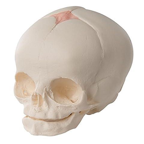 3B Scientific - Anatomie humaine - Crâne de