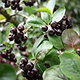 Apfelbeere 'Viking' - Aronia prunifolia 'Viking' - Aronie -Eine Pflanze