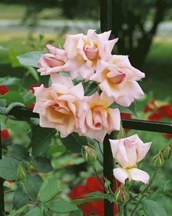 kletterrose-compassion-r-adr-rose-im-4-l-container