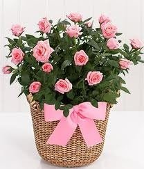 fresh-rose-plant-delivered-in-a-deluxe-basket-uk-mainland-only-by-the-gift-box
