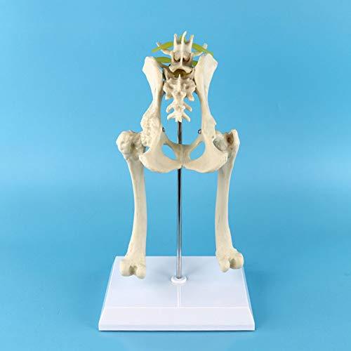XIEJI Hund Lenden Hüftgelenk Modell Lumbal Rücken Modell- Mit Becken Femur Hundeskelett Modell Tier Vorführungen Vorbild Für Den Unterricht Tierarzt Medizinstudenten