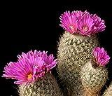 Farmerly Turbinicarpus Beguinii Senilis Exotic Cactus Rare Succulent Gymnocactus 20 Seeds