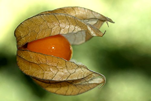 "Physalis - ""peruviana"" - PH001- 10 graines"