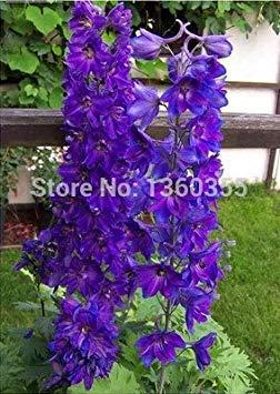 ASTONISH Erstaunen SEEDS: Mix ruff Samen tic kleine Blumensamen, Auto s lila Blatt, ca. 50 Teilchen -