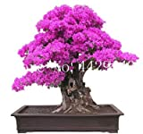 prime vista 50 pezzi di bonsai Bougainvillea, pianta in vaso, fiore di bouganville, varietà completa, il tasso di germogliamento del 95%, per la piantagione di orti domestici: 12