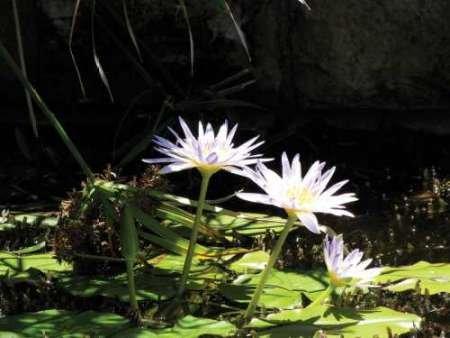 feelingathomeit-stampa-su-tela-100-cotone-intelaiata-violet-water-lily-iv-cm-46x61-dimensioni-person
