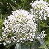 PLAT FIRM Germination Les graines PLATFIRM-40 + Blanc Jupiters Barbe Centranthus/Graines de fleurs vivaces