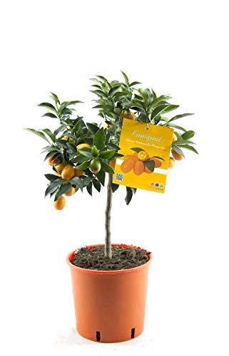 Kumquat mit Frucht Fortunella margarita Citrus Zitrus 70 cm Zitruspflanze