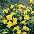 'Goldbeet', Beetrose in A-Qualität Wurzelware von Rosen-Union bei Du und dein Garten