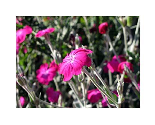1x Frisch Kronen-Lichtnelke Lychnis Coronaria Pechnelken Garten Pflanze K-P415