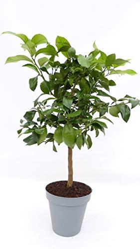 Zitrus Zitronenbaum 70-100 cm Zitrone Citrus limon Zitruspflanze